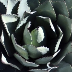 toned square agave